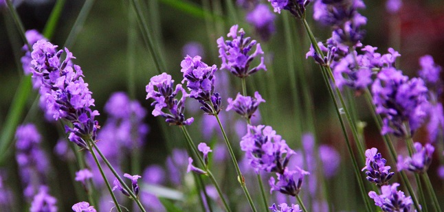 lavender cat litter scent